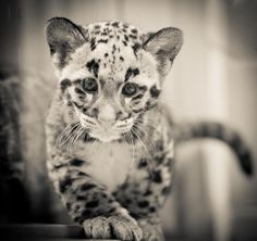 Endangered Clouded Leopard Cubs born at Point Defiance Zoo & Aquarium in Tacoma, WA. Learn more at www.pdza.org.