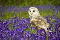 Owl in field of lavender.