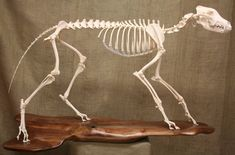 Timber Wolf Skeleton by ~Mad-Taxidermist on deviantART