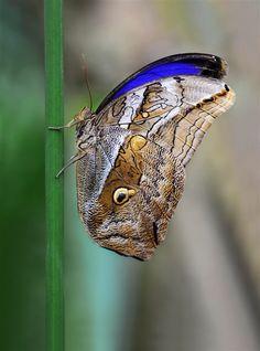 Owl butterfly Caligo