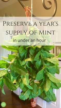 Mint Plant Benefits Uses Why You Were Meant to Grow Mint preserving mint mint recipes mint leaves fresh mint harvesting mint plant care benefits of mint growing mint mi. Drying Mint Leaves, Fresh Mint Leaves, Fresh Mint Tea, Uses For Mint Leaves, Growing Mint, Growing Herbs, Growing Tea, Mint Plant Care, Mint Plant Uses