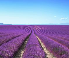 Go Lavender Picking