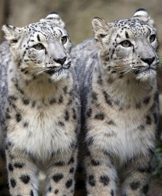 Spot the difference...Snow Leopard    Hmmm. The difference is usually easier than this to spot -- it's usually in the spots.  I have spotted some different arrangement of spots, but I am wondering if Snow Leopards are known to have identical twins!!