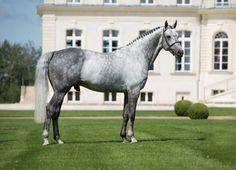 Levistan「Levisto x Ameise」Hanoverian Stallion