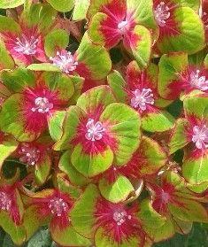 Hydrangea, hortensia de flor roja y verde