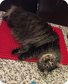 4/17/16 Absecon, NJ - Maine Coon. Meet DOV Courtesy Post, a cat for adoption. http://www.adoptapet.com/pet/15323685-absecon-new-jersey-cat