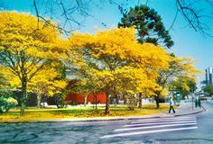 Ipês na primavera - Curitiba,PR