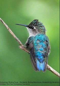 Magnificent blue hummingbird.