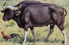 Gaur Cattle Hybrid | al malayan gaur mar study agaur bos gaur box oman wikipedia the of the ...