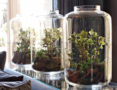 I love these giant terrariums..will keep my cat from eating them!!