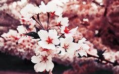 sakura cherry blossom - Google Search