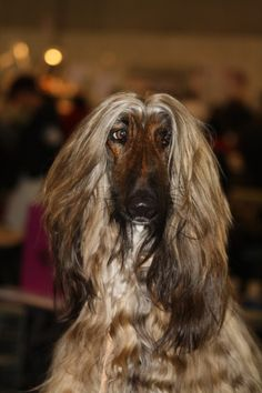 Viento - Zabo-Khan's Afghan Hound, Head Shots, Cute Dogs And Puppies, Afghans, Dog Grooming, Dog Breeds, Dog Cat, Passion, Friends