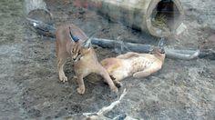 QC - Hemmingford - Parc Safari - 22 of 25 - Caracal