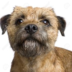 Image from http://previews.123rf.com/images/isselee/isselee0812/isselee081200028/3998906-Border-terrier-in-front-of-a-white-background-Stock-Photo.jpg.