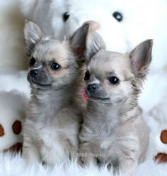I love the color of these sweet Chihuahuas