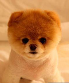 Boo, Pomerania toy