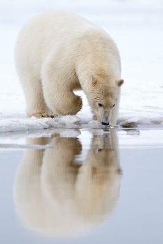 ~~Mirror, Mirror... ~  Polar Bear (Ursus maritimus) sniffs the water for scents by Gina Ruttle  (Whalegeek)~~