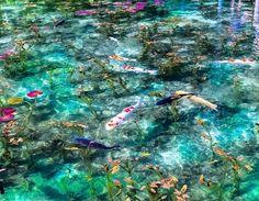 #土曜日の小旅行 — モネの池は、岐阜県関市板取根にある根道神社参道の脇に位置する。名もない貯水池だったが、フランスの画家クロード・モネの作品と似ていると評判が立ち、いつしかそう呼ばれるようになった。「透き通った水、優雅に泳ぐ鯉、水草や睡蓮たちが織り成す色は、まるで印象派の絵画。モネの作品、睡蓮そのものです」という田中奈々 (@seventh_hama) さん。「三次元なのに二次元の様に見えるとても不思議な池は、日本庭園とはまた違った美しさがあって、非日常を感じられると思います」オススメの撮影時間帯は人影が池に映り込みづらい午前中。雨が降ると透明度が戻るまでには数日かかるため注意が必要だ。「6月上旬には睡蓮の綺麗な花が咲き、秋は紅葉で美しいと思います。橋を入れた構図だと、モネの作品みたいで面白いかもしれません」 みなさんがおすすめするフォトロケーションはどこですか? #土曜日の小旅行 ハッシュタグと位置情報をつけてぜひシェアしてください。 Photo by @seventh_hama
