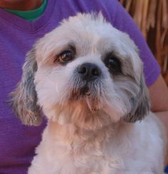 Gabriel is an angelic young boy who wants to know what a loving home feels like.  He was at another shelter that asked for our help due to very severe neglect that included extensive matting across his entire head and body.  Gabriel is a Shih-Tzu, 2 years of age, neutered, and debuting for adoption today at Nevada SPCA (www.nevadaspca.org).  He enjoys other dogs and may adjust best in a home with a big brother or sister dog.  Please help us find Gabriel a hero.