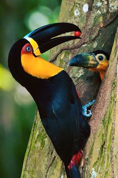 The toucan is a medium-sized bird native to the rain forests of central and South America and the Caribbean. Toucans are tropical birds of the family Pretty Birds, Love Birds, Beautiful Birds, Animals Beautiful, Beautiful Pictures, Heart Pictures, Unusual Animals, Tropical Birds, Exotic Birds