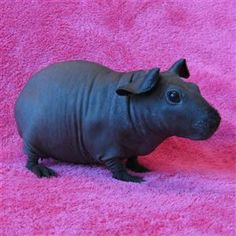 Skinny Pig - A Guinea Pig without fur. Looks like a mini rhinoserous to me.. Or do I ask for a skinny pig? So adorable and unusual! Hmmm