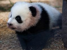 Look, it's a baby Panda at Zoo Atlanta.  Cute!  Zoo's are fun, no matter what city you're in.