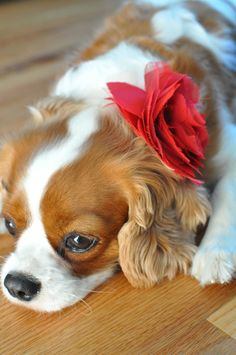 I played with one last night! Kind Charles Spaniel. Alice was her name :)