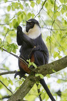 Diana ape on the tree by Tambako the Jaguar