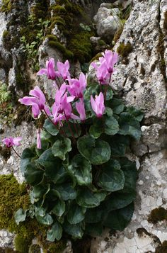 Cyclamen persicum The leaves of this plant are used in mediterranian and eastern cuisine, often filled with rice and meat in a similar way the Greek dolmades. Alpine Garden, Alpine Plants, Rock Flowers, Wild Flowers, Greek Dolmades, Plantes Alpines, Alpine Flowers, Shade Garden, House Plants