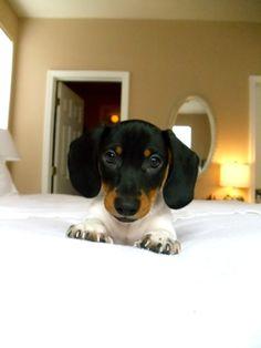 Mini dachshund ready to pounce