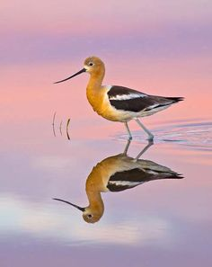 American Avocet. Photo by Robert Palmer