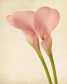 botanical print of a calla lily by allison trentelman