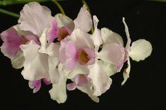 Terete Vanda Orchids   Papilionanthe teres (Roxb.) Schltr. 1915