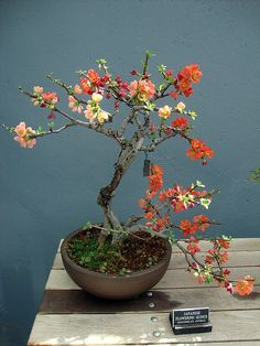 ~ Blooming Bonsai tree ~