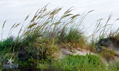 Wild sea oats on the beach.