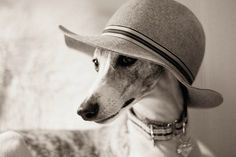 Lovely lady Greyhounds are made for hats.