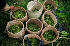 Des feuilles de thé de printemps récoltées à la Plantation de thé de Yi'ong, dans le district de Bomi de la région autonome du Tibet