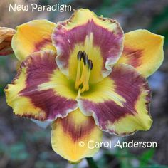 17 Daylily / Hemerocallis seeds 4 NEW PARADIGM  crosses  easy to grow hardy perennial flower, ready to plant, AHS Award Winning parents by liebchen813 on Etsy
