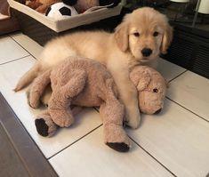 Labrador Retriever Golden Retriever puppy and best friend. Cute Baby Animals, Animals And Pets, Funny Animals, Animals Images, I Love Dogs, Puppy Love, Cute Dogs, Sweet Dogs, Retriever Puppy