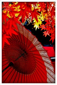 傘と紅葉 Maple leaves and parasol Paper Umbrellas, Umbrellas Parasols, Red Umbrella, Under My Umbrella, Japanese Culture, Japanese Art, Japanese Beauty, Japanese Things, Japanese Style