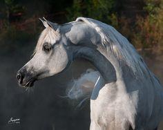 Scapa, Arabian Stallion