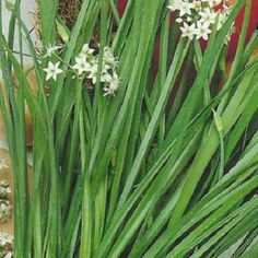 Arpagic Neco. Planta are frunzele lungi, folosite aproape in exclusivitate proaspete.