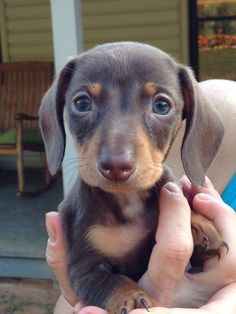 7 week old mini dachshund puppy named Mini Cooper #Dachshund