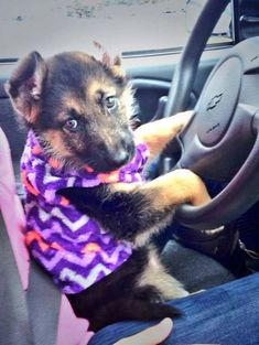 "#GSD puppy. ""I'm ready for ride!"""