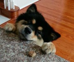 Kiba, a 1.5 year old Finnish Lapphund. Will you be mine please?