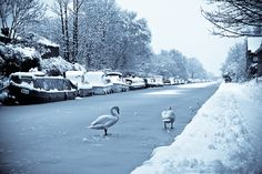 swans walking on a frozen canal in Sale, Cheshire  //  Jean-Marie Salmacis