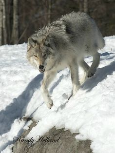 Timber Wolf , Quebec