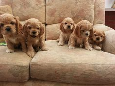 American Cocker Spaniel - Puppies, Rescue, Pictures, Information, Temperament, Characteristics | Animals Breeds