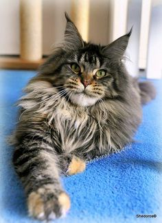 """""""Hela""""-Shedoros Helena - Welcome to the photo gallery of Shedoros http://www.mainecoonguide.com/how-to-tell-if-a-kitten-is-a-maine-coon/"""