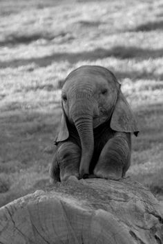 "Baby elephant sitting down... after a tough day at school! ""Aww... my head hurts!"" <3"